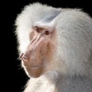 Parsing Primates: Baboons Learn to Recognize the Difference between Real and Fake English Words