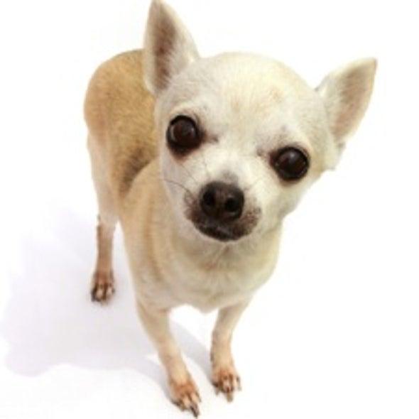 Small Dogs Prove Susceptible to Flea Poison