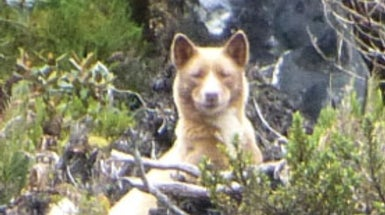 Photograph of the World's Rarest Dog Sparks a Quest to Save the Species
