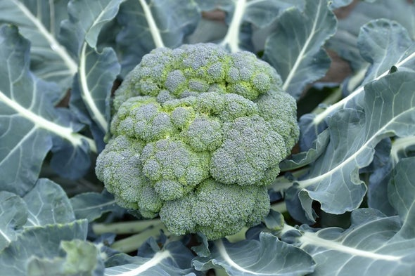 Aversion to Broccoli May Have Genetic Roots