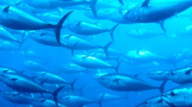 How does mercury get into fish scientific american for Where does mercury in fish come from