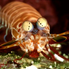 Polarized Peepers: Crustacean's Eyes Surpass Man-Made Optical Devices in Manipulating Light
