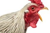 Fowl Language: AI Decodes the Nuances of Chicken