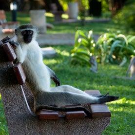 Vervet sitting on a bench.
