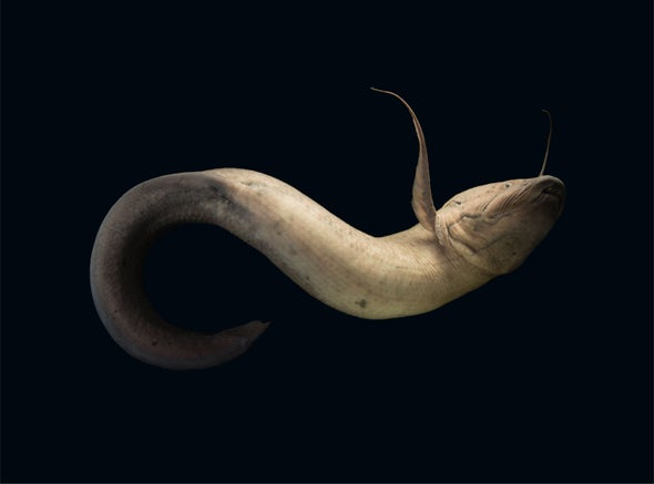 Poem: 'Lesson from the West African Lungfish (Protopterus annectens)'
