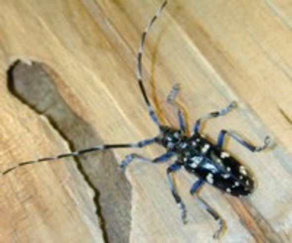 The Beetle Battle