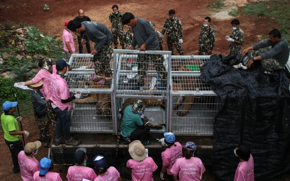 Dead Tiger Cubs Found in Thai Temple Amid Trafficking Fears