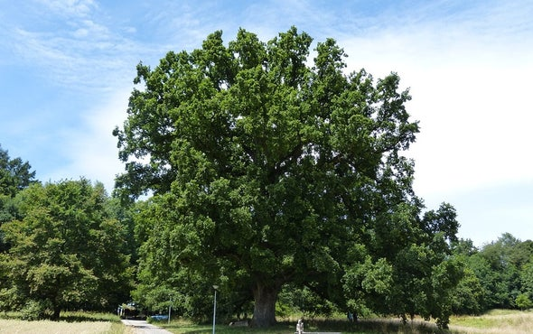 Ancient Oak's Youthful Genome Surprises Biologists