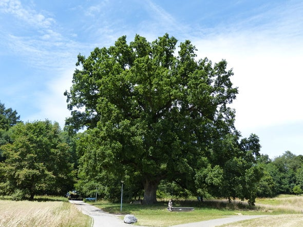 Ancient Oak's Youthful Genome Surprises Biologists