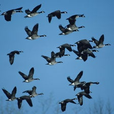 How Has Human Sprawl Affected Bird Migration—And the Spread of Avian Diseases?