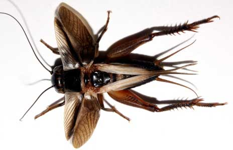 Evolution Sparks Silence of the Crickets
