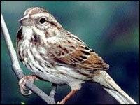Birds Share 'Language' Gene with Humans
