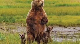Mysterious Bear Dance Explained