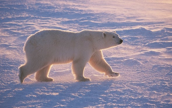 Climate Change Fires Up Polar Bear Treadmill