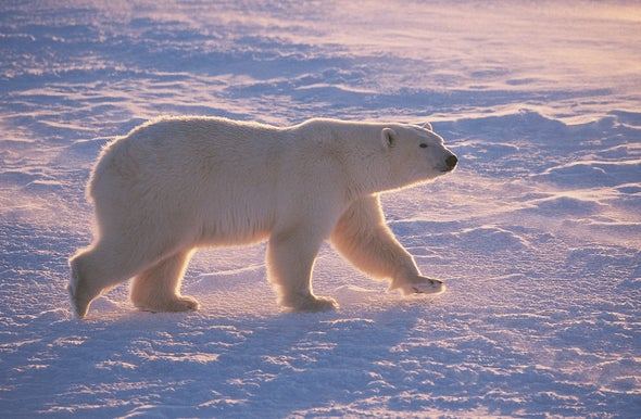 Climate Change Fires Up Polar Bear Treadmill