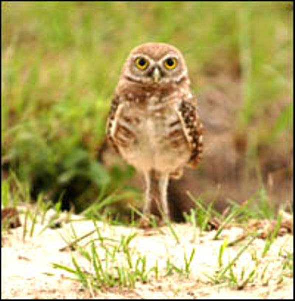 Cunning Owls Bait Beetle Prey