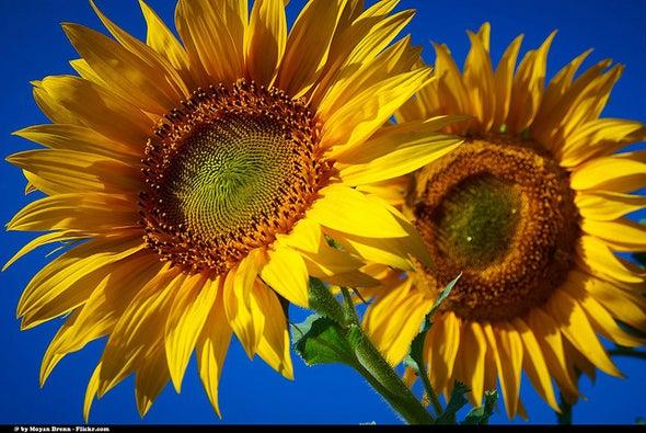 Sunflowers Move to Internal Rhythm [Video]