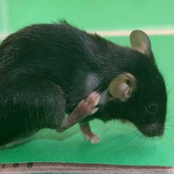 Scratch That Theory: Itchiness and Pain May Not Share the Same Sensory Pathway