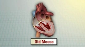 Age reversal protein brings young hearts to old mice