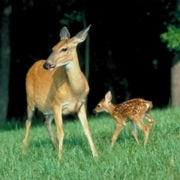 The Buck Stops Here: Do We Really Need to Cull Deer Herds?