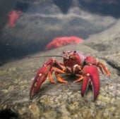 Crayfish: