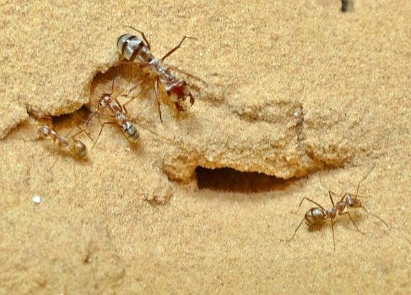 Galloping Ant Beats Saharan Heat
