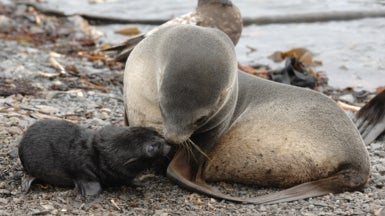 Hit by Climate Change, Dwindling Antarctic Seal Population Grows More Diverse