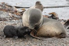 A mother and offspring Antarctic fur seal