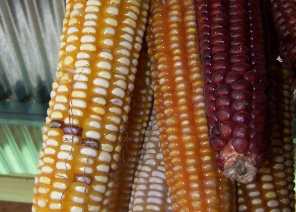 Corn Variety Grabs Fertilizer from the Air