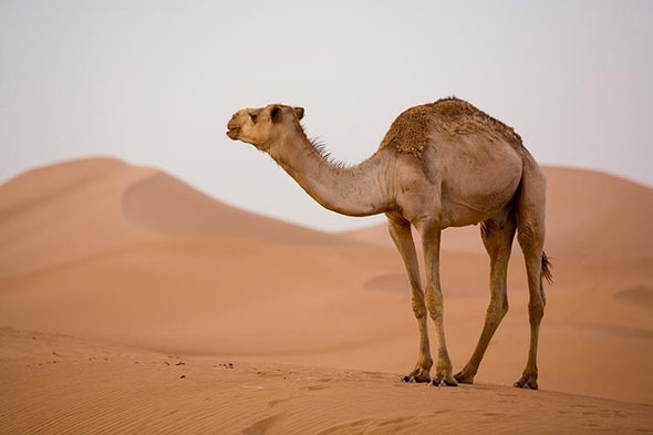MERS Vaccine Protects Camels, Which Is Good for People