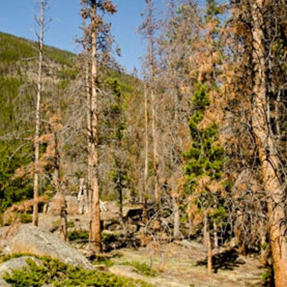 Pine Bark Beetles Poised for New Attacks on Canada's Boreal Forests