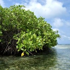 mangrove trees coast