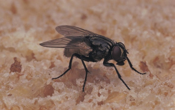 Warming Climate Implies More Flies--and Disease