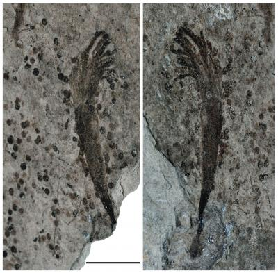 600-million-year-old seaweeds lived a short, fast life