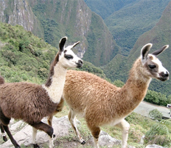Nerve Protein in Llama Semen Could Help Human Fertility