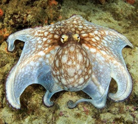 How Octopuses Hide in Plain Sight to Trick Predators
