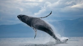 Different Humpback Whale Groups Meet to Jam