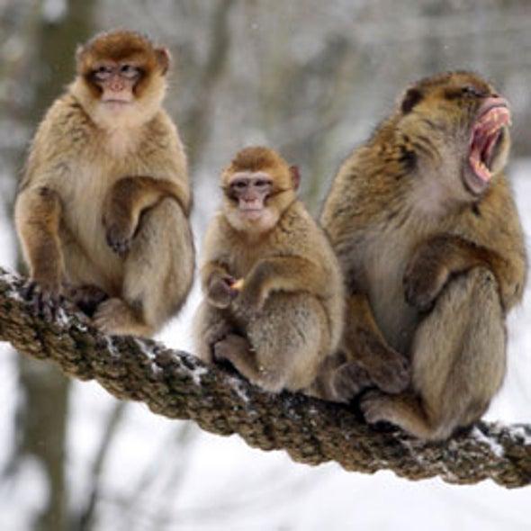 Buddies Help Monkeys to Survive Tough Times