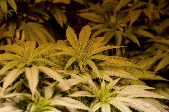 Medical Marijuana Faces Fed's Catch-22
