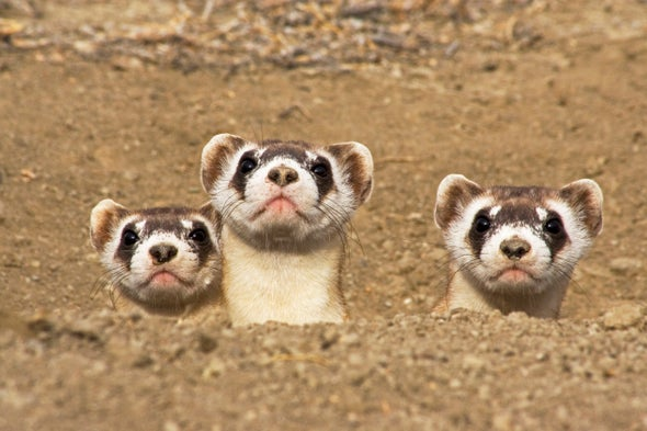 Why Are America's Black-Footed Ferrets Disappearing?