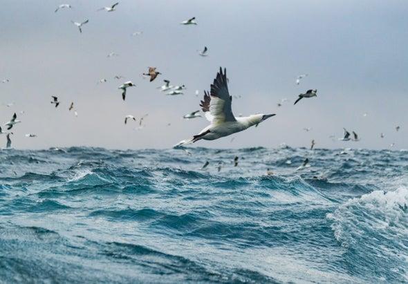 Struggling Seabirds Are Red Flag for Ocean Health