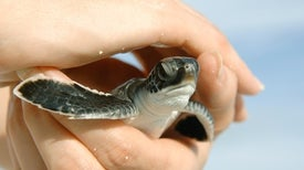 Is Climate Change Producing Too Many Female Sea Turtles?