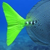 Tail of Yellowtail Surgeonfish