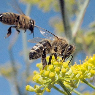 Exploring Consciousness through the Study of Bees