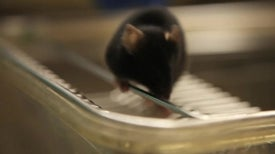 Researchers Cure Diabetes in Mice