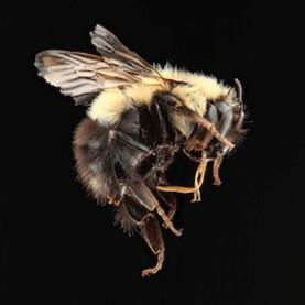 Hive and Seek: Domestic Honeybees Keep Disappearing, but Are Their Wild Cousins in Trouble, Too? [Slide Show]