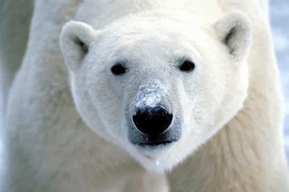 How Are Polar Bears Faring?