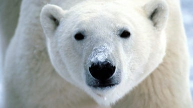How Are Polar Bears Faring?