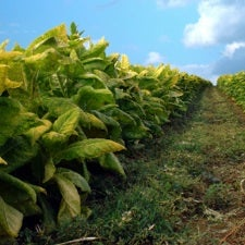 Genetically Modified Tobacco Could Smoke Other Crops as Energy Source
