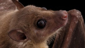 How Baby Bats Develop Their Dialects